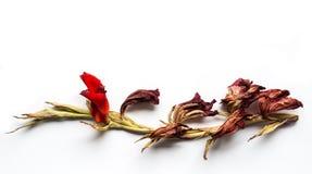 Rode Gele narcis Royalty-vrije Stock Foto