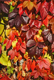 Rode, gele, purpere bladeren Royalty-vrije Stock Foto