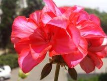 Rode geranium Stock Afbeeldingen