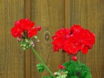 Rode geranium Royalty-vrije Stock Foto's
