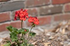Rode Geranium in Met mulch bedekt Bloembed stock foto's