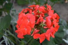Rode geraniumbloei met verscheidene gestamde bloemen stock afbeeldingen