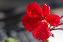 Rode geraniumbloem op een vage achtergrond Stock Afbeelding