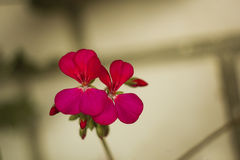Rode geraniumbloemen op tak Royalty-vrije Stock Foto's