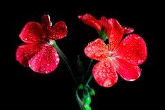 Rode geraniumbloemen op zwarte achtergrond royalty-vrije stock afbeeldingen