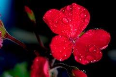 Rode geraniumbloemen op zwarte achtergrond Royalty-vrije Stock Afbeelding