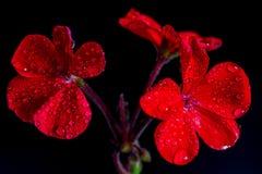 Rode geraniumbloemen op zwarte achtergrond Stock Fotografie