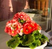 Rode geraniums die in de zon bloeien Royalty-vrije Stock Afbeelding