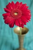 Rode gerber van de bloem in de vaas Royalty-vrije Stock Foto's