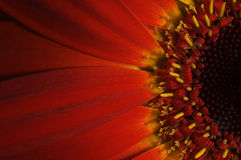 Rode Gerbera Royalty-vrije Stock Fotografie