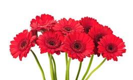 Rode Gerbera-bloem Royalty-vrije Stock Afbeelding