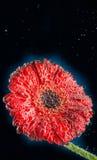 Rode Gerbera-bloemmacro Stock Foto