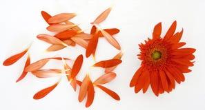 Rode Gerbera Daisy Royalty-vrije Stock Foto's