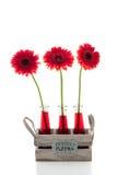 Rode gerbera drie in glasvazen Stock Afbeelding