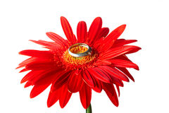 Rode gerbera met de zilveren ring Stock Afbeeldingen