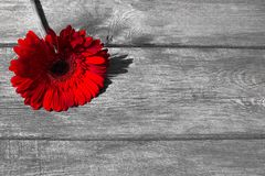 Rode gerbera op een houten achtergrond voor prentbriefkaar royalty-vrije stock fotografie