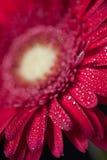 Rode Gerbera op Zwarte Stock Fotografie