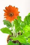 Rode Gerbera in Pot Royalty-vrije Stock Foto