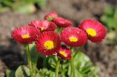 Rode gerberabloemen Stock Fotografie