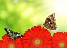 Rode gerberabloemen Stock Afbeelding