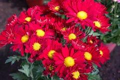 Rode gerberabloemen Stock Afbeeldingen