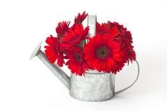 Rode gerberabloemen in een gieter Royalty-vrije Stock Afbeelding