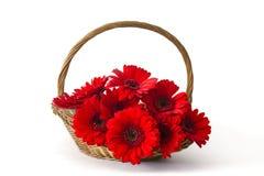 Rode gerberabloemen in een mand Stock Foto
