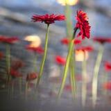 Rode gerberabloemen en blauwe achtergrond Stock Foto's