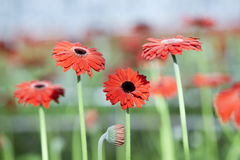 Rode gerberabloemen met andere bloemen op achtergrond Royalty-vrije Stock Afbeeldingen