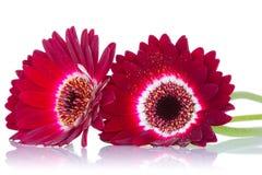 Rode gerberabloemen met bezinning Royalty-vrije Stock Foto's