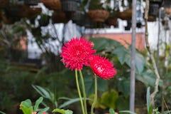 Rode gerberabloemen met rode bloemblaadjes Stock Foto's