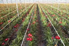 Rode gerberabloemen in Nederlandse serre Stock Fotografie
