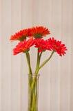 Rode gerbermadeliefjes royalty-vrije stock afbeelding