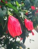 Rode gesloten bloemen in Bello, Colombia Royalty-vrije Stock Fotografie