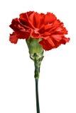 Rode geïsoleerdeg anjerbloem, Royalty-vrije Stock Foto's