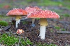 Rode gestippelde giftige paddestoelen in het mos Stock Foto