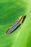 Rode Gestreepte Leafhopper Royalty-vrije Stock Afbeelding