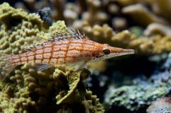 Rode gestreepte vissen Stock Afbeeldingen