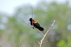 Rode gevleugelde zwarte vogel Royalty-vrije Stock Afbeeldingen