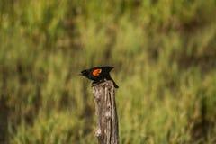 Rode gevleugelde zwarte vogel Stock Foto