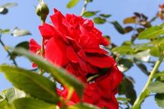 """Rode gevoelige fluweelrozen in de zon Ð ¡ Ð ¾ Ð"""" Ð ½ Ð?Ñ ‡ Ð ½ Ñ ‹Ð ¹ Ð'Ð?Ð ½ ÑŒ royalty-vrije stock foto's"""