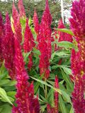 Rode gevoerde bloemen Stock Foto