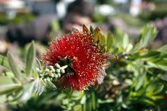 Rode gezwollen bloem Royalty-vrije Stock Afbeeldingen