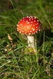 Rode giftige paddestoel Stock Afbeeldingen