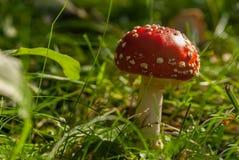 Rode giftige paddestoel Stock Afbeelding