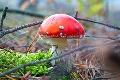 Rode giftige paddestoel in bos dichte omhooggaand Royalty-vrije Stock Afbeeldingen