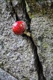 Rode giftige paddestoel in een splijten stock fotografie