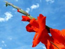 Rode Gladiolas stock foto
