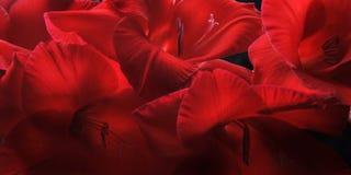 Rode Gladiolas closep-omhoog stock foto's