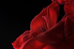 Rode Gladiolas closep-omhoog stock afbeeldingen